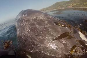 gray whale shocks paddleboarder, surfacing within inches of him; video