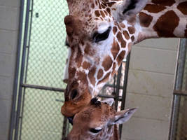 baby giraffe: cheyenne mountain shows april's not the only game in town