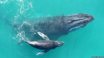 Baby humpback whales 'whisper' to mums to avoid predators
