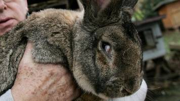 United Airlines investigates giant bunny death