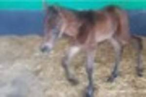 pregnant horse hit by a car and left in ditch has given birth to...
