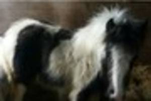 distressed basildon ponies rescued from horrific conditions after...