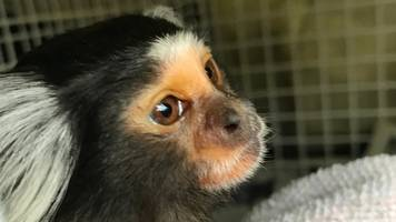 Monkey advertised for sale on social media rescued