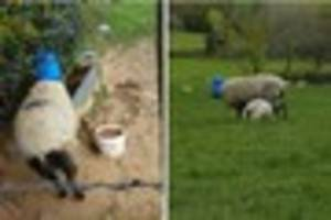 Meanwhile in Cornwall: Facebook hunt for Launceston farmer who...