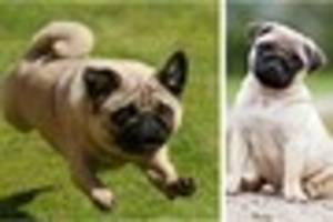 pug lovers to celebrate the popular breed at pugfest - and you...