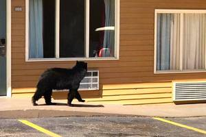 Black bear checks out a Tennessee hotel; video report