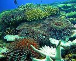 vinegar offers hope in barrier reef starfish battle