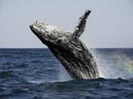 humpback whales intervening to stop killer whale pod
