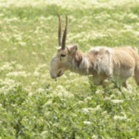 morris animal foundation to help critically endangered mongolian saiga