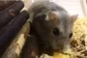 how could you? hunt on for person who dumped hamster by roadside