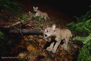 cute mountain lion kittens excite researchers and residents in nocal; videos
