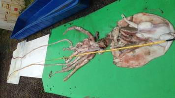 Rare giant squid caught off County Kerry coast