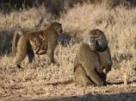 male baboons position themselves on edge to protect babies
