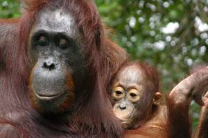 you think your baby's needy? orangutan moms breastfeed for 8 years