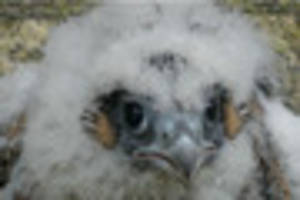 Have a look at our new  feathered friends! Peregrine falcons...