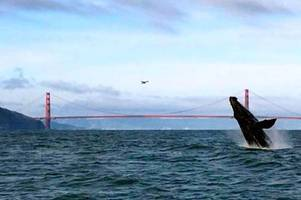 in rare sighting, whales seen swimming under golden gate bridge—again; video