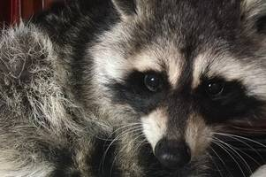 asylum seeking raccoon taken in after coming to the uk on the back of a lorry