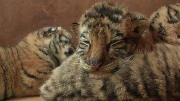siberian tiger quintuplets snuggle up in china