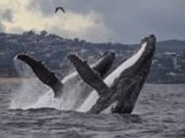 'Best whale photos in 10 years' captured in Sydney Harbour