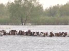 rescuers save herd of horses from drowning in river