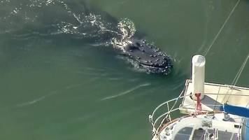 Humpback whale trapped in California harbour