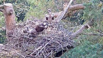 nest drama 'like jeremy kyle for ospreys'