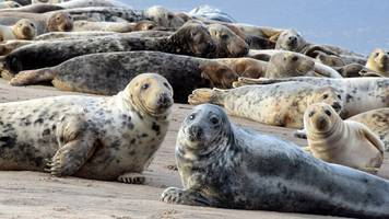 wild seals given 'love hormone' in experiment