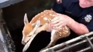 Fawn saved from New Jersey sewer by 'Deer Whisperer' officer