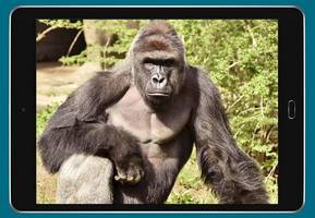 Harambe: A year from gorilla death which sparked numerous memes