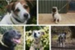 These gorgeous dogs have been rescued in Kent and are looking for...