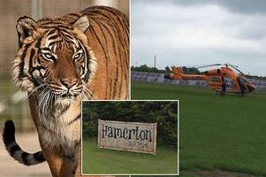 'tiger attack' causes evacuation of uk zoo as police and air ambulance rush to tourist attraction
