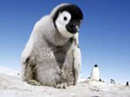 emperor penguins struggle to adapt to climate change
