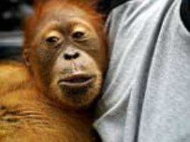 orangutan and her son are saved from indonesia plantation