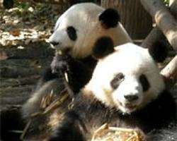 germany to welcome two giant pandas