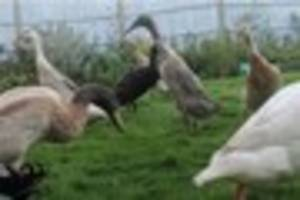Appeal after Notts family's pet ducks are stolen