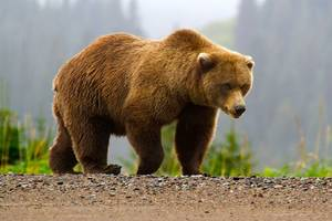 Police responding to grizzly bear attack on kids get charged by bear, fire shots
