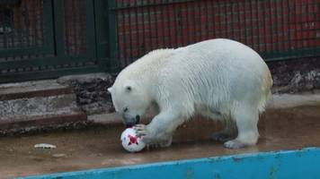 Confederations Cup 2017: Meet Nika, the football-predicting polar bear