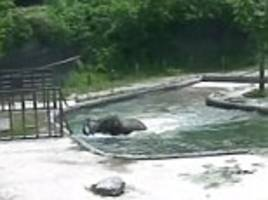 Adult elephants save calf from drowning in South Korea zoo