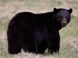 Gold mine worker killed by black bear in Alaska is second fatal attack in two days