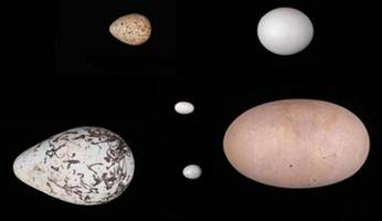 Ever wonder why eggs are shaped like eggs? Scientists say they've figured it out:Scientists link egg shapes to birds' flight behaviour