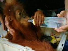 Baby orangutans relax with a drink in Thailand