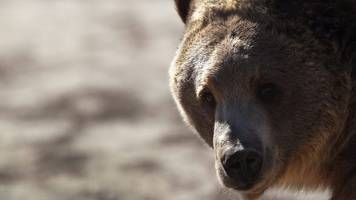 Yellowstone grizzly: Endangered or not?