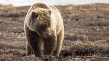 yellowstone grizzlies are losing their endangered species protection
