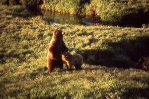yellowstone grizzlies to lose federal protection
