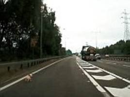 Motorist risks life to recue a dog on the dual carriageway