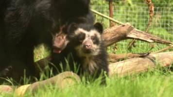 rare andean bear cub emerges from den at chester zoo