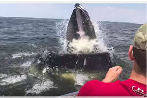 gigantic whale jumps at boat off new jersey (video)