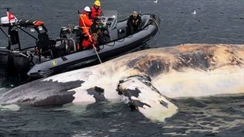 "Rising right whale death toll could be ""catastrophic"": marine biologist"
