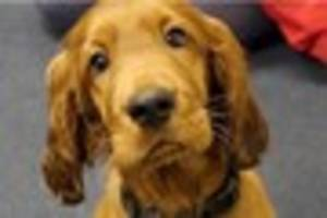 A school is employing a full-time puppy to help children cope...