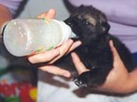 wolf pupies show attachment to humans who hand raise them